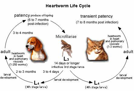 Heartworm Life Cycle