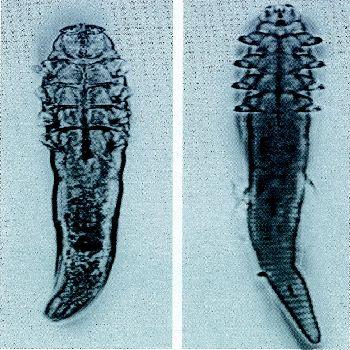 Demodex mites