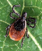 Black-Legged Tick
